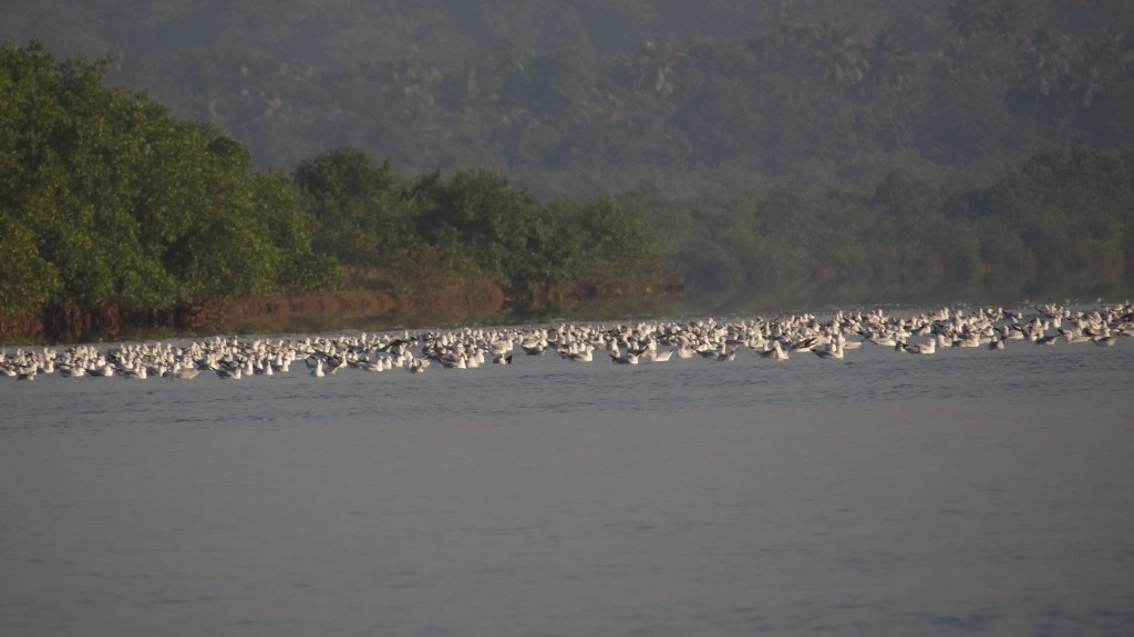 Seagulls at backwaters