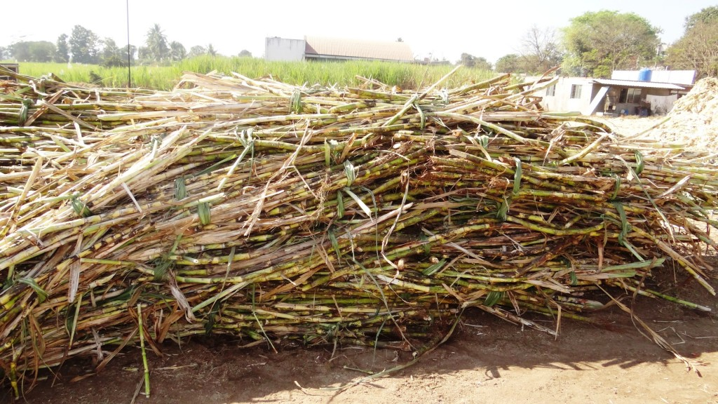 Sugarcane stored at the premises