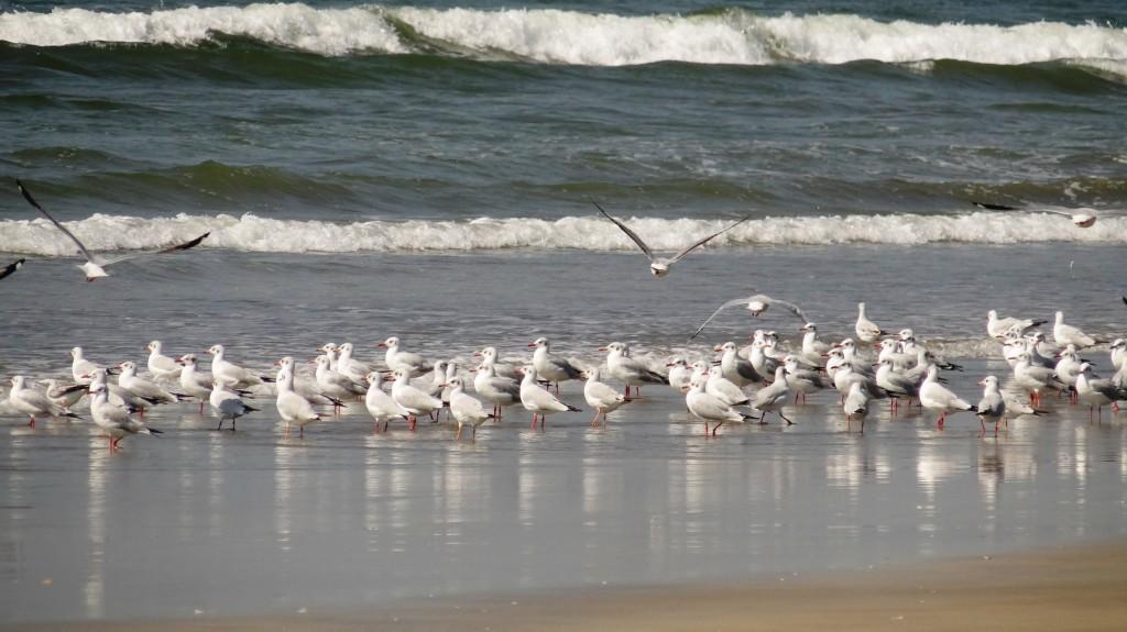 seagulls10