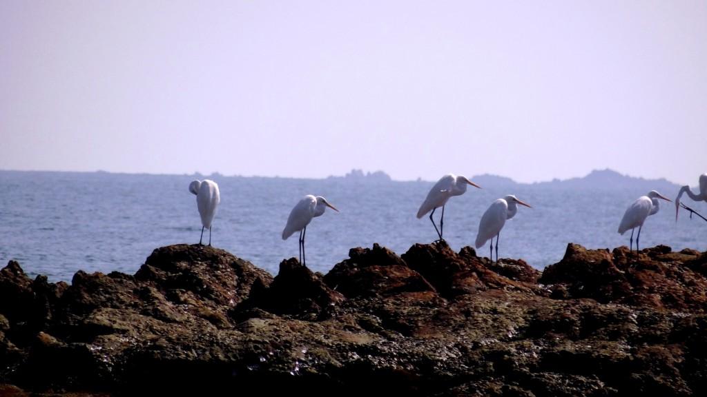 Swan having rest on rocks