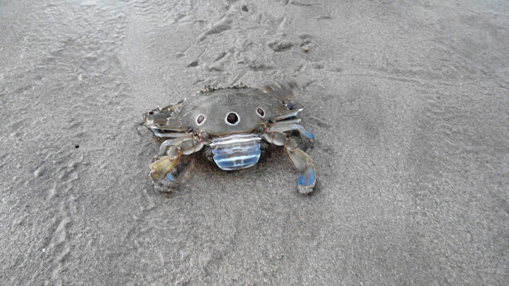 A crab freed from the net
