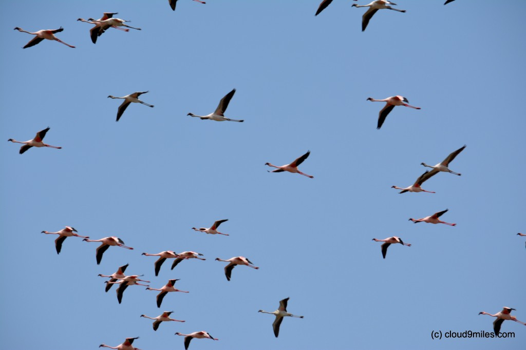 Flamingos flying with neck and legs outstretched