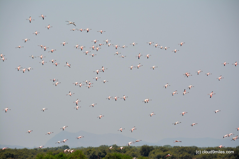 Flamingos A Delightful Guest Cloud9miles Indian