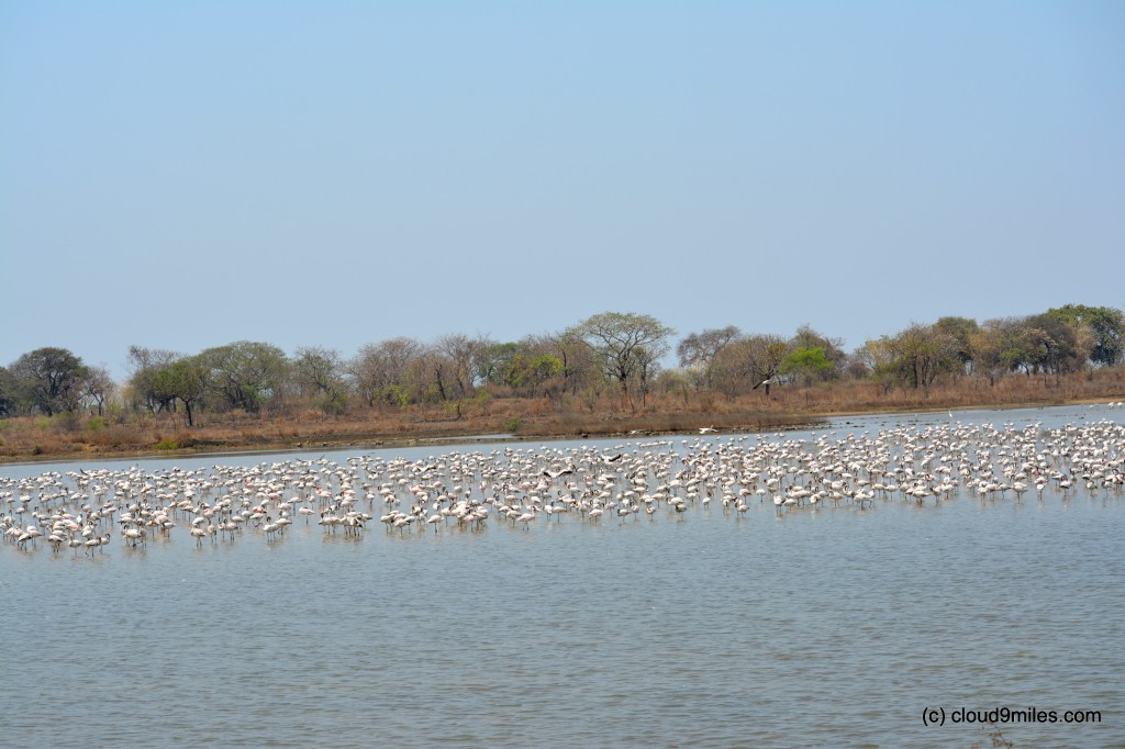 Flamingos - Few in numbers at the beginning