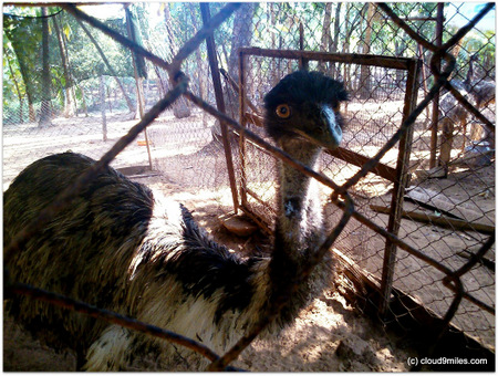 Emu Farming – A neglected opportunity!!!