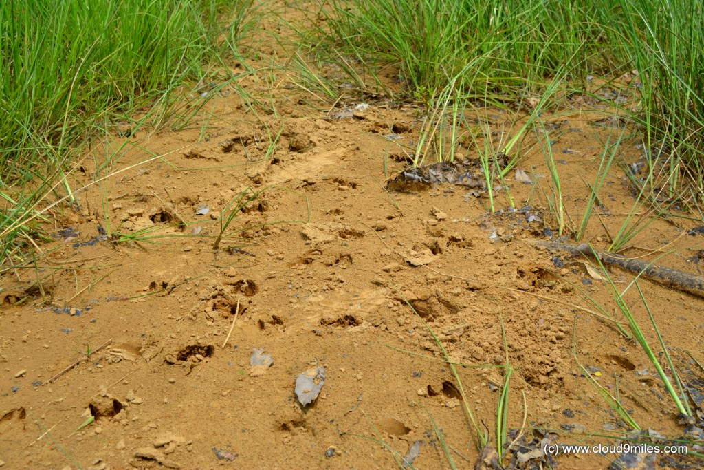 Footprints of deer!