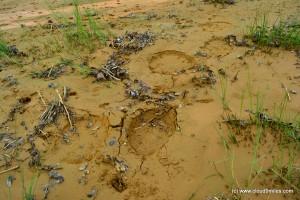 Fresh footprints of elephants!